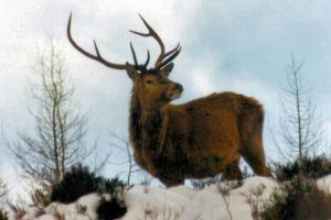 Monarch of the Glen!